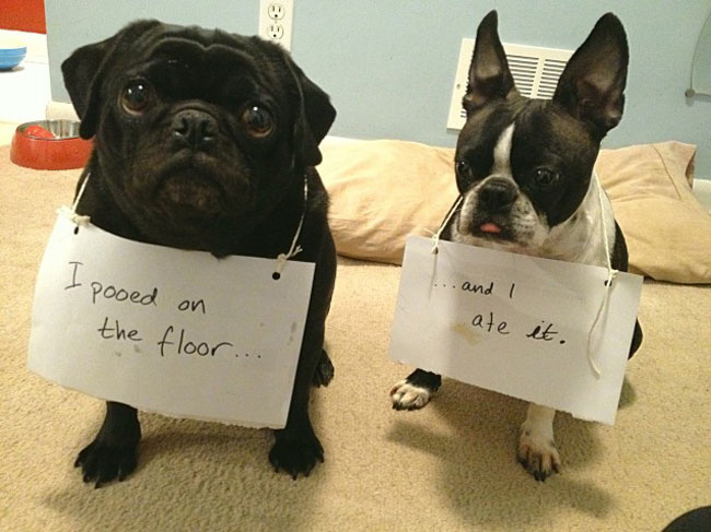 dogs-who-are-shamelessly-proud-of-what-they-just-did-25