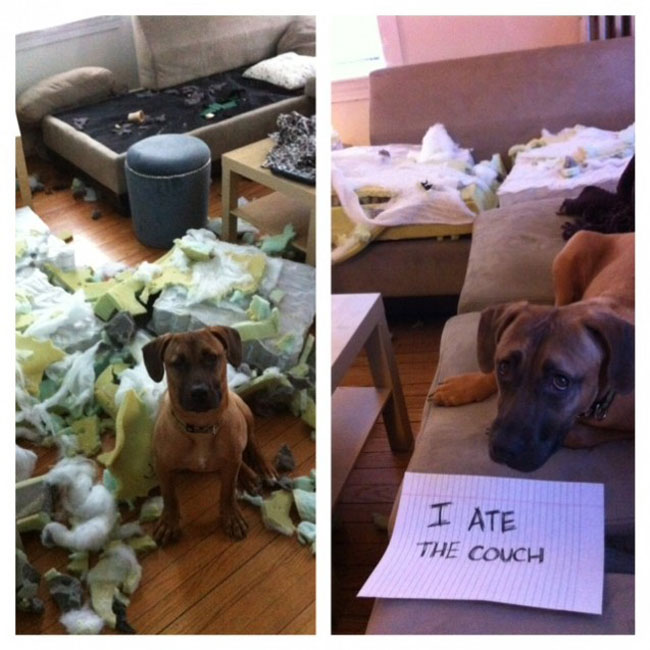 dogs-who-are-shamelessly-proud-of-what-they-just-did-29